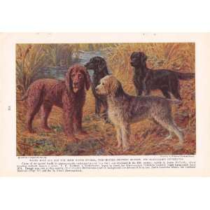 1937 Irish Water Spaniel, Wire Haired Pointing Griffon and Flat Coated